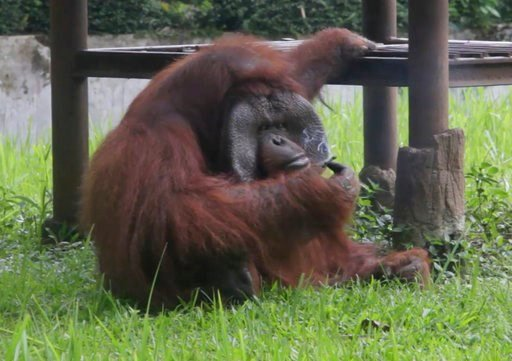 (AP Photo). In this image made from video, an adult male orangutan smokes a cigarette in its enclosure at Bandung Zoo in Bandung, West Java, Indonesia, Sunday, March 4, 2018. The zoo infamous for mistreatment of animals is being slammed again by activi...
