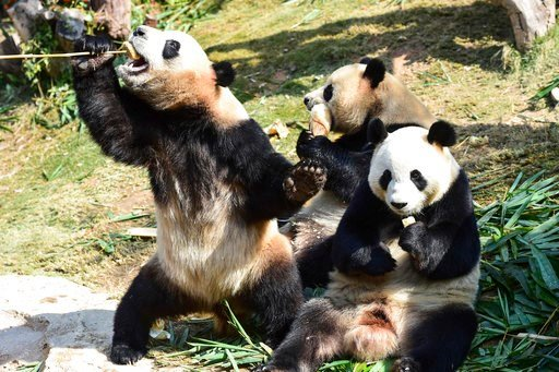 (Chinatopix via AP). In this Feb. 8, 2018, photo, the world's longest-living panda triplets Meng Meng, Shuai Shuai, and Ku Ku, eat food in their compound at a zoo in Guangzhou in southern China's Guangdong province. The Bank of China  pledged at least ...