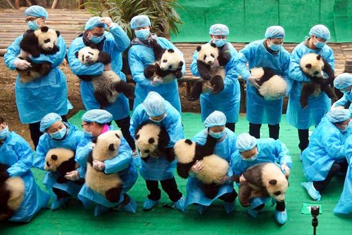 (Chinatopix via AP). In this Jan. 20, 2017, photo, staff members hold some 23 pandas born in 2016 at the Chengdu Panda Breeding Base in Chengdu in southwestern China's Sichuan Province. The Bank of China pledged at least 10 billion yuan ($1.5 billion) ...