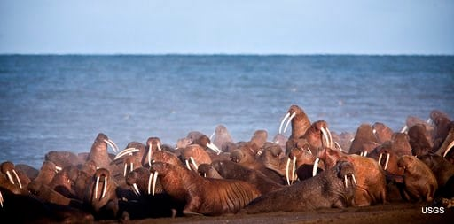 (Ryan Kingsbery/USGS via AP, File). FILE - In this September 2013, file photo provided by the United States Geological Survey (USGS), walruses gather to rest on the shores of the Chukchi Sea near the coastal village of Point Lay, Alaska. A national env...