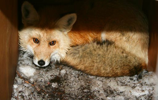 (California Department of Fish and Wildlife via AP). In this undated photo provided by the California Department of Fish and Wildlife, a captured male red fox is seen. California wildlife biologists say they have caught two rare Sierra Nevada red foxes...