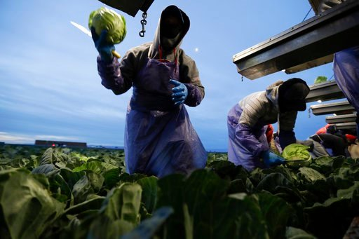 (AP Photo/Gregory Bull). In this March 6, 2018 picture, farmworker Santiago Martinez, of Mexicali, Mexico, picks cabbage before dawn in a field outside of Calexico, Calif. For decades, cross-border commuters have picked lettuce, carrots, broccoli, onio...
