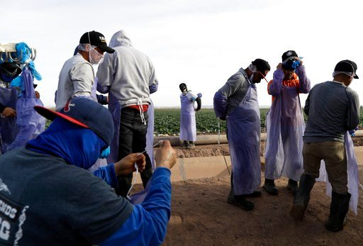 (AP Photo/Gregory Bull). In this March 6, 2018 photo, farmworkers prepare after a break while harvesting cabbage in a field outside of Calexico, Calif. For decades, cross-border commuters have picked lettuce, carrots, broccoli, onions, cauliflower and ...