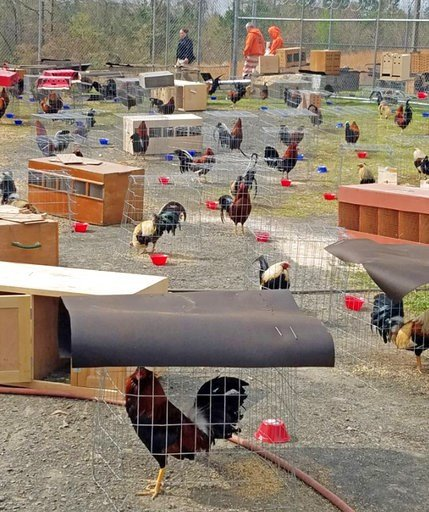 Arkansas jail housing 200 roosters as cockfighting evidence - | WBTV Charlotte
