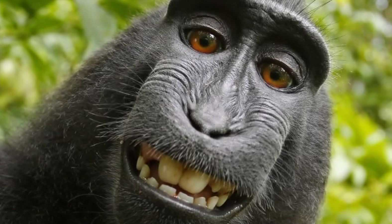A federal court said that animals may not sue for copyright protection in a ruling on a lawsuit over a series of entertaining selfies taken by a monkey. (Source: David Slater/KGO/CNN)