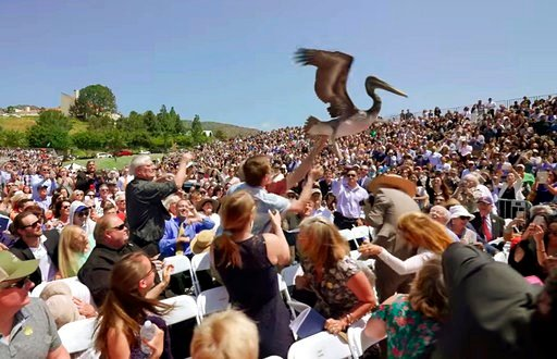 (Grant Dillion/Pepperdine University via AP, file). FILE--In this April 28, 2018, file photo, made from video provided by Pepperdine University, shows one of a pair of pelicans crashing a graduation ceremony at Pepperdine University in Malibu, Calif. T...