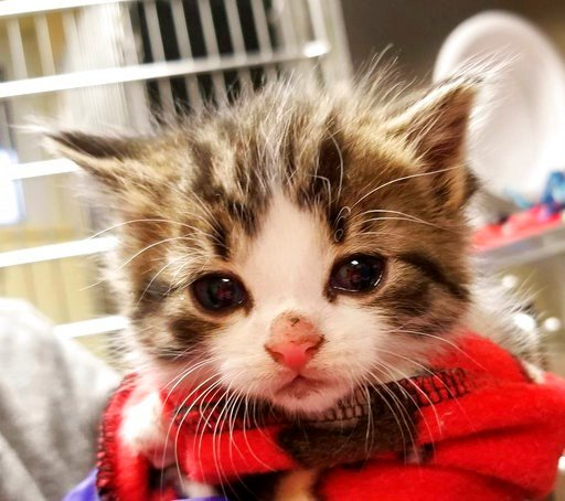 """(Michigan Humane Society via AP). This 2018 photo released by the Michigan Humane Society shows a kitten named Badges. The Troy, Mich., police department has created a new rank of """"pawfficer"""" for the cat that has joined the force. Badges will be used f..."""