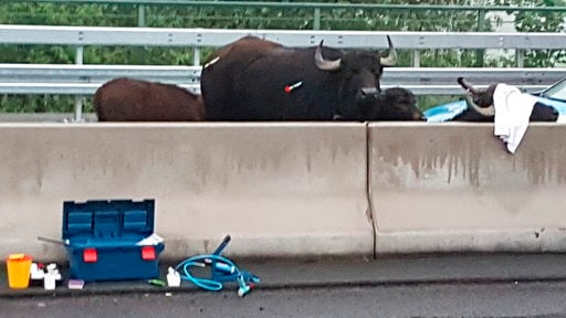 (Oliver Koehler/WDR//dpa via AP). Water buffalos stand on a highway near Leverkusen, western Germany, Monday, May 14, 2018.  The buffaloes, including two calves, escaped from a field Sunday night and walked onto the A3 highway near Leverkusen. The high...