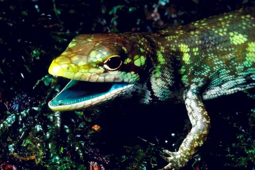 (Christopher Austin via AP). This undated photo provided by Christopher Austin in May 2018 shows a prehensile tailed skink (Prasinohaema prehensicauda) from the highlands of New Papua New Guinea. The high concentrations of the green bile pigment bilive...