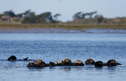 (AP Photo/Eric Risberg). In this photo taken Monday, March 26, 2018, sea otters are seen together along the Elkhorn Slough in Moss Landing, Calif. Along 300 miles of California coastline, including Elkhorn Slough, a wildlife-friendly pocket of tidal sa...