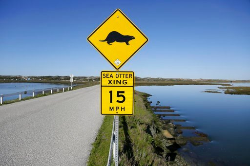 (AP Photo/Eric Risberg). In this photo taken Monday, March 26, 2018, a sign warns motorists of sea otters at the Elkhorn Slough in Moss Landing, Calif. Along 300 miles of California coastline, including Elkhorn Slough, a wildlife-friendly pocket of tid...
