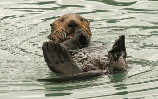 (AP Photo/Dan Joling, File). In this May 21, 2016 file photo, a northern sea otter floats on its back while crushing a clam shell with its teeth in the small boat harbor at Seward, Alaska. Sea otters, once wiped out by hunting along Alaska's Panhandle,...