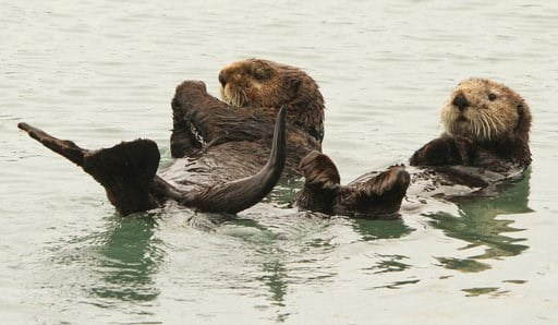 (AP Photo/Dan Joling, File). In this May 21, 2016 file photo, a pair of northern sea otters float on their backs in the small boat harbor at Seward, Alaska. Sea otters, once wiped out by hunting along Alaska's Panhandle, have made a strong comeback and...