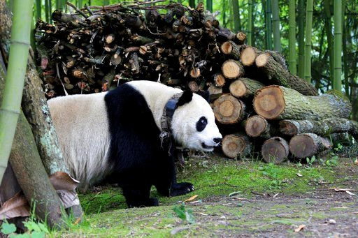 (Chinatopix via AP). In this Thursday, May 31, 2018 photo, a giant panda wanders through a village in Wenchuan County in southwestern China's Sichuan province. A highly social giant panda out for a stroll has surprised and delighted residents of a town...