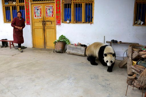 (Chinatopix via AP). In this Thursday, May 31, 2018 photo, a woman watches as a giant panda wanders through a village in Wenchuan County in southwestern China's Sichuan province. A highly social giant panda out for a stroll has surprised and delighted ...