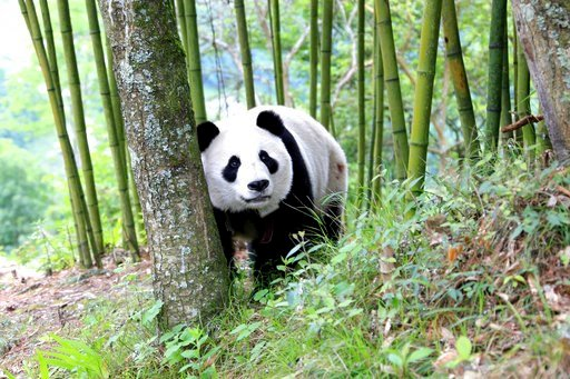 (Chinatopix via AP). In this Thursday, May 31, 2018, photo, a giant panda wanders through a village in Wenchuan County in southwestern China's Sichuan province. A highly social giant panda out for a stroll has surprised and delighted residents of a tow...