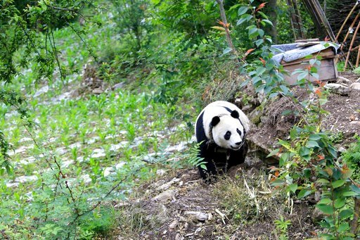 (Chinatopix via AP). In this Thursday, May 31, 2018, photo, a giant panda wanders through a garden in a village in Wenchuan County in southwestern China's Sichuan province. A highly social giant panda out for a stroll has surprised and delighted reside...