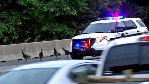 (CBS 3 Philly KYW-TV via AP). This still image taken from video provided by CBS 3 Philly KYW-TV shows four peacocks that escaped from the Philadelphia Zoo walking on the shoulder of  on Interstate 76, alongside the vehicle of a Pennsylvania State Polic...