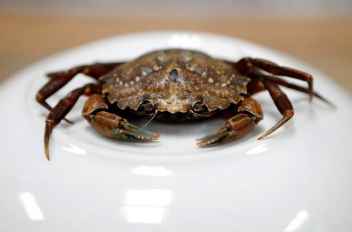 (AP Photos/Robert F. Bukaty). A green crab is seen, Wednesday, June 6, 2018, in Portland, Maine. Food scientists have gathered in Portland to find a way to monetize invasive green crabs, which are a major pest in shellfish harvesting communities.