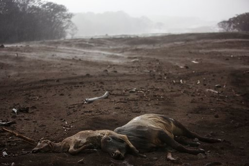 """(AP Photo/Rodrigo Abd). Cows lie dead amid steam rising from the hot volcanic ash following a light rain, near the Volcan de Fuego, or """"Volcano of Fire,"""" in the El Rodeo hamlet of Escuintla, Guatemala, Wednesday, June 6, 2018. Firefighters said the cha..."""
