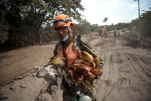 """(AP Photo/Rodrigo Abd). A rescue worker carries a flock of farm birds rescued from homes destroyed by the Volcan de Fuego, or """"Volcano of Fire,"""" eruption, in El Rodeo, Guatemala, Wednesday, June 6, 2018. Rescuers were concerned about possible dangers p..."""