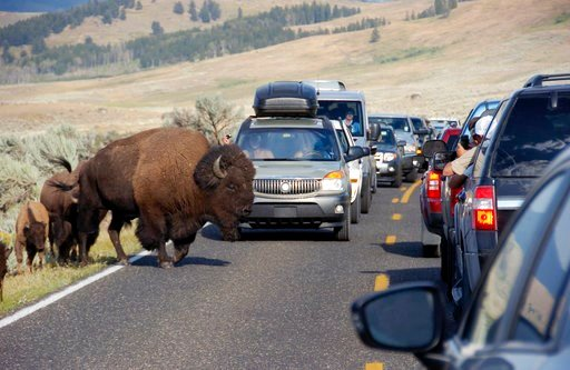 (AP Photo/Matthew Brown, File). FILE - In this Aug. 3, 2016, file photo, a large bison blocks traffic as crowds of tourists take photos in the Lamar Valley of Yellowstone National Park, Wyo. The park's superintendent says he's being forced out for what...