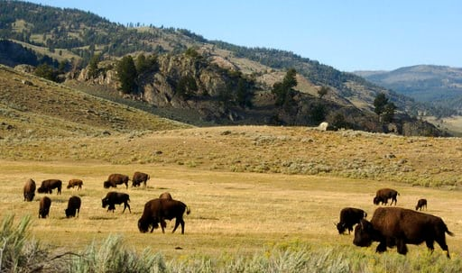 (AP Photo/Matthew Brown,File). FILE - In this Aug. 3, 2016 photo, a herd of bison grazes in the Lamar Valley of Yellowstone National Park. The park's superintendent says he's being forced out for what appear to be punitive reasons following disagreemen...