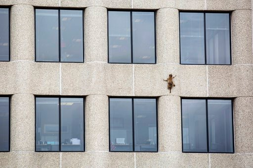 (Evan Frost/Minnesota Public Radio via AP). A raccoon scurries up the side of the UBS Tower in St. Paul, Minn., on Tuesday, June 12, 2018.