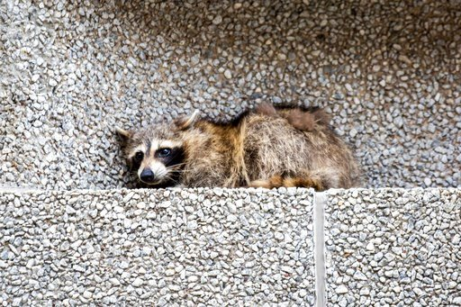 (Evan Frost/Minnesota Public Radio via AP). A raccoon sits on a ledge on the Town Square building in downtown St. Paul, Minn., on Tuesday, June 12, 2018.