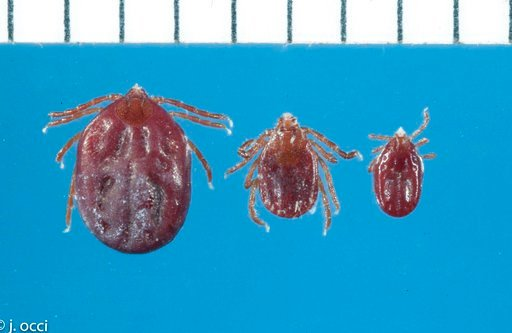 (Jim Occi/Rutgers University via AP). This undated photo provided by Rutgers University shows three Longhorned ticks: from left, a fully engorged female, a partial engorged female, and an engorged nymph. A hardy, invasive species of tick that survived ...
