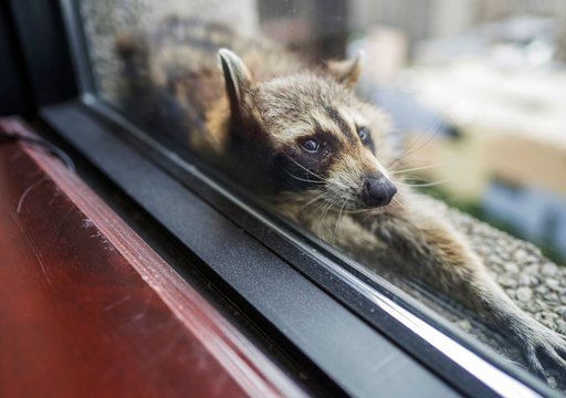 (Evan Frost/Minnesota Public Radio via AP). A raccoon stretches out on a windowsill high above downtown St. Paul, Minn., Tuesday.