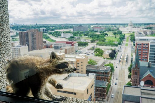 (Evan Frost/Minnesota Public Radio via AP). A raccoon stretches itself on the window sill of the Paige Donnelly Law Firm on the 23rd floor of the UBS Tower in St. Paul, Minn., Tuesday.