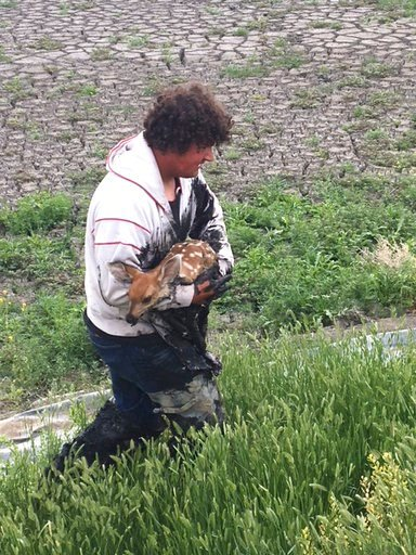 (Curt Wood via AP). Fort Benton city crew member Joe Bauer rescues a fawn that was stuck in the sludge in a sewage drying bed on Wednesday, June 14, 2018 in Fort Benton, Mont. Bauer says Wednesday's rescue was a rewarding experience, but nobody wanted ...