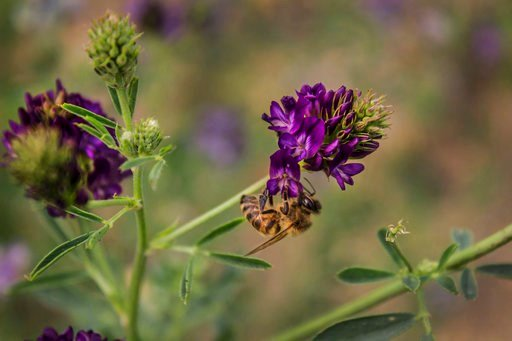 (Sarah Scott/The Ohio State University via AP). This June 2015 photo provided by The Ohio State University shows a bee on a flower in Southwest Minnesota. A new federal study finds that honeybees in the Northern Great Plains are having a hard time find...