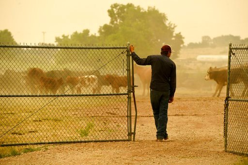 (Helen H. Richardson/The Denver Post via AP). Ty Warren leaves a pen where his father's cattle are being kept at the Huerfano County Fairgrounds where displaced people have brought their pets for safe keeping as the Spring Fire continues to burn Tuesda...