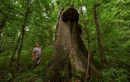 (Louis B. Ruediger/Pittsburgh Tribune-Review via AP). In this July 2, 2018 photo, Tom McQuaide, admires the colossal sized tree he discovered while marking trees to harvest on property in Bell Township, Pa. The Red Oak tree is expected to be roughly 40...