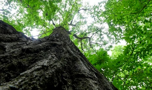 (Louis B. Ruediger/Pittsburgh Tribune-Review via AP). This July 2, 2018 photo shows a Red Oak tree discovered on a farm in Bell Township, which is expected to be more then 400 years old. Land owner Jack Tickle has intentions of protecting the tree rath...