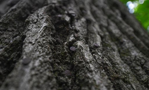 (Louis B. Ruediger/Pittsburgh Tribune-Review via AP). This July 2, 2018 photo shows nail heads in a Red Oak tree discovered on a farm in Bell Township, Pa., which is expected to be more then 400 years old. Land owner Jack Tickle has intentions of prote...