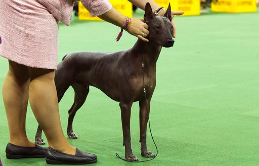 (AP Photo/Mary Altaffer, File). FILE - In this Feb. 15, 2016, file photo, a xoloitzcuintli is shown in the ring during the non-sporting group competition at the140th Westminster Kennel Club dog show, at Madison Square Garden in New York. A new study pu...