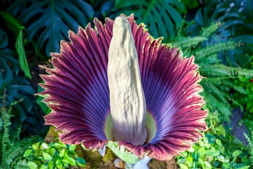 "(Cory Morse/The Grand Rapids Press via AP). The corpse flower blooms at Frederik Meijer Gardens and Sculpture Park in Grand Rapids, Mich., Thursday, July 12, 2018. The garden's staff nicknamed the flower ""Putricia"" for its putrid smell, which is often ..."