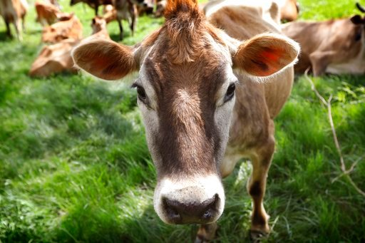 (AP Photo/Charlie Neibergall). In this May 8, 2018, photo, a Jersey cow feeds in a field on the Francis Thicke organic dairy farm in Fairfield, Iowa. Small family operated organic dairy farms with cows freely grazing on verdant pastures are going out o...