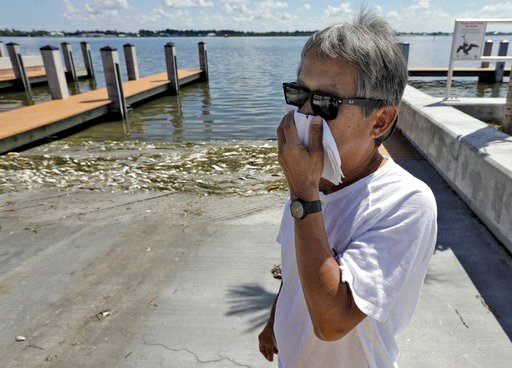 (AP Photo/Chris O'Meara). In this Monday Aug. 6, 2018 photo, Alex Kuizon covers his face as he stands near dead fish at a boat ramp in Bradenton Beach, Fla. From Naples in Southwest Florida, about 135 miles north, beach communities along the Gulf coast...