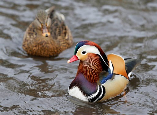 (AP Photo/Seth Wenig). A Mandarin duck, right, swims in Central Park in New York, Wednesday, Dec. 5, 2018. In the weeks since it appeared in Central Park, the duck has become a celebrity.