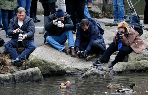 (AP Photo/Seth Wenig). People try to get pictures of a Mandarin duck, center, in Central Park in New York, Wednesday, Dec. 5, 2018. In the weeks since it appeared in Central Park, the duck has become a celebrity.