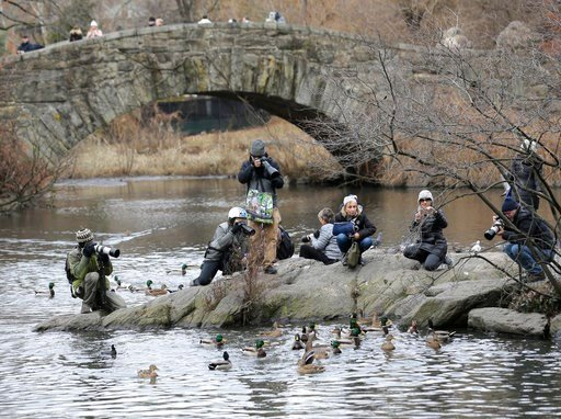 (AP Photo/Seth Wenig). People try to get a look at and pictures of a Mandarin duck in Central Park in New York, Wednesday, Dec. 5, 2018. In the weeks since it appeared in Central Park, the duck has become a celebrity.