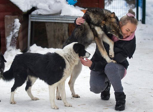 (AP Photo/Mindaugas Kulbis). In this photo taken on Thursday, Jan. 31, 2019, Ilona Reklaityte, founder of a dog shelter, copes with two of her charges in Vilnius, Lithuania. A group of enthusiasts have launched an app that helps match aspiring dog owne...