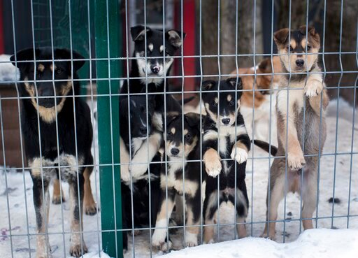 (AP Photo/Mindaugas Kulbis). In this photo taken on Thursday, Jan. 31, 2019, stray dogs look out of the enclosure. in Vilnius, Lithuania .A group of Animal lovers in Lithuania have created a mobile application inspired by the popular dating app Tinder,...
